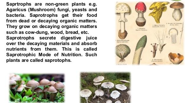 saphrotrophs